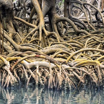 dominican-republic-los-haitises-mangrove-roots-e1415761492786-960x640
