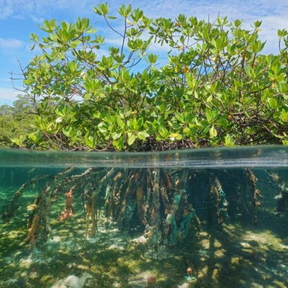 mangrove2-833x720
