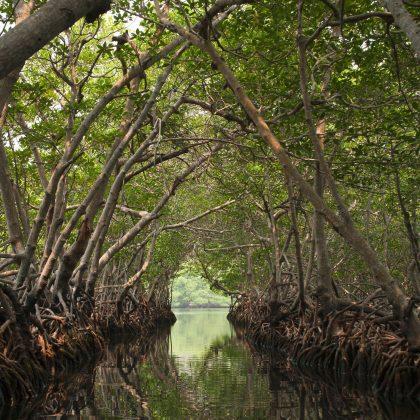 mangroves3